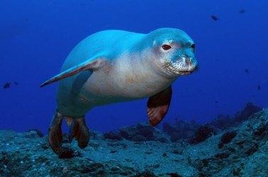 Hawaiian-Monk-Seal